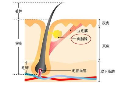 皮脂腺イラスト